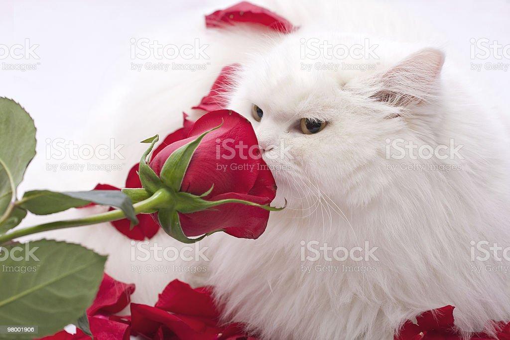 Gato branco puro-sangue foto royalty-free