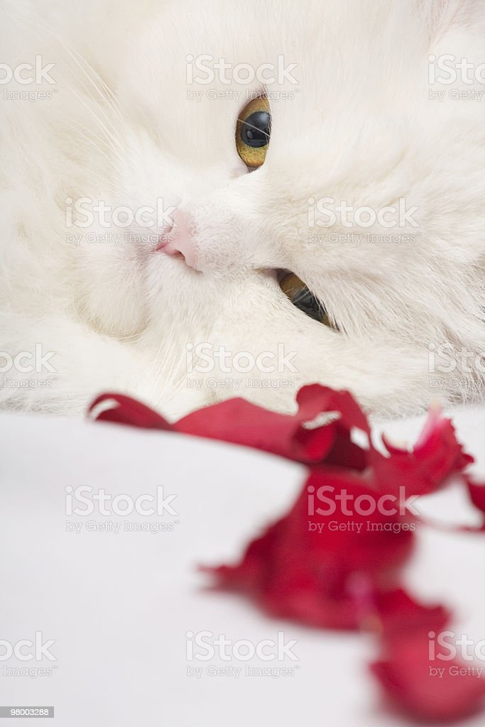 White thoroughbred cat royalty-free stock photo