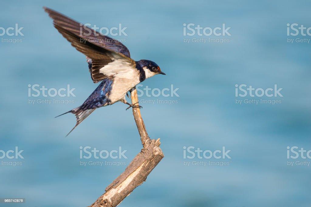 Wit Roodkop swallow landing - Royalty-free Buitenopname Stockfoto