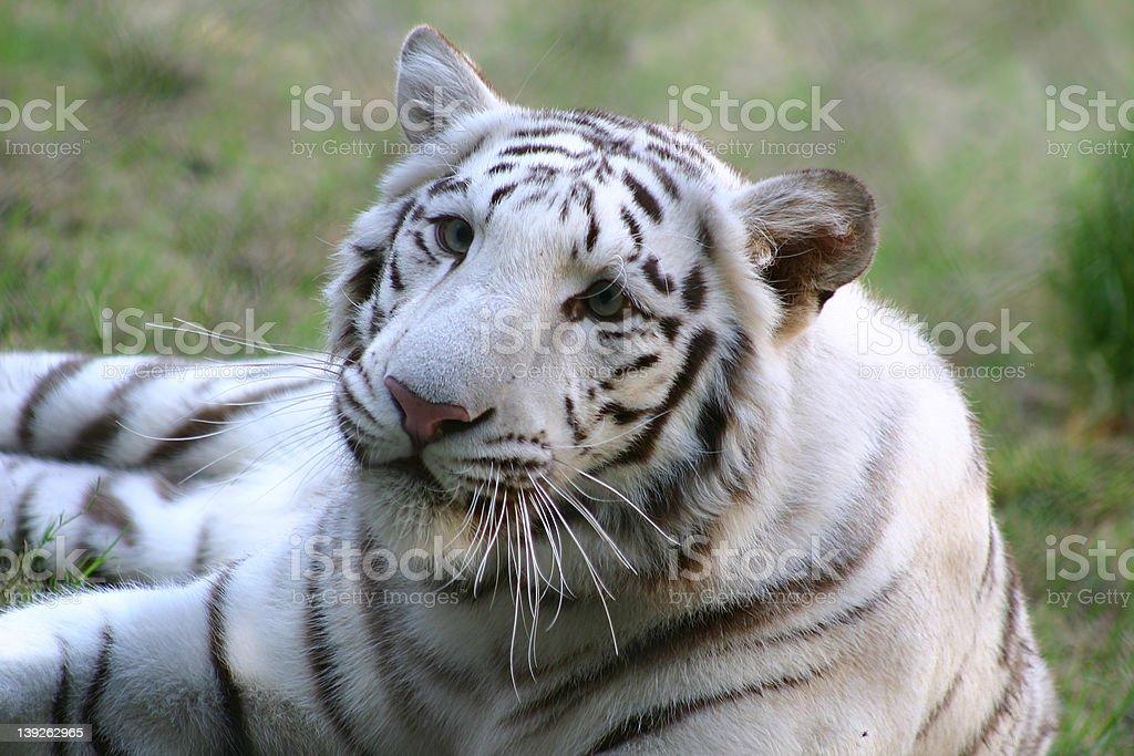 White Tiger 2 royalty-free stock photo