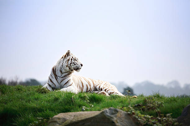 White tiger basking in the sun stock photo