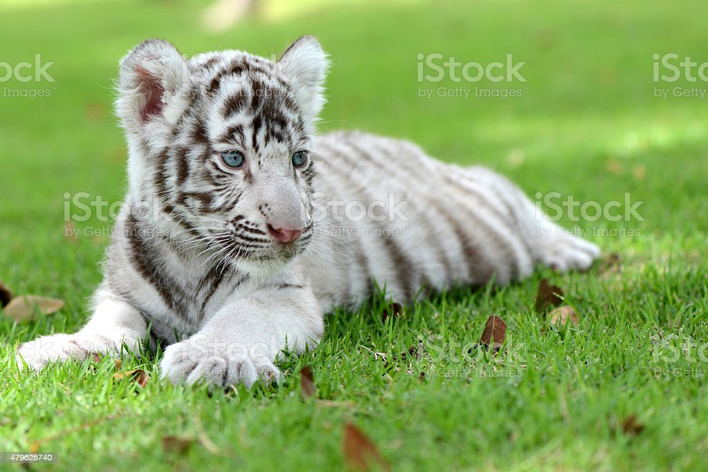 White Tiger cub on field focus to head and eye stock photo