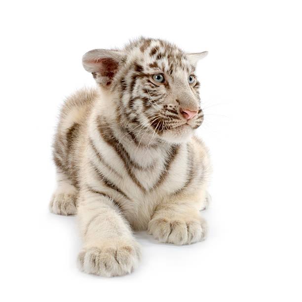 White tiger cub picture id93210054?b=1&k=6&m=93210054&s=612x612&w=0&h=rspgkvtmrezcp1svvtgg4o1zpmo8enexgs50l9alxt4=