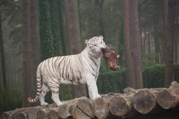 A white tiger eats fresh meat stock photo