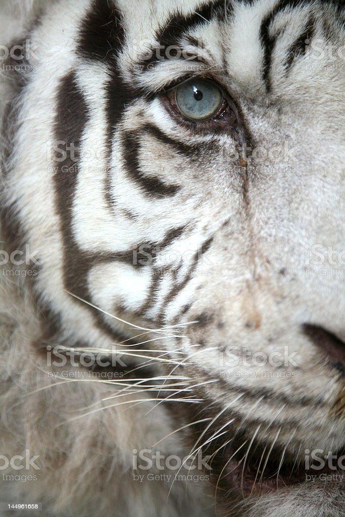 White Tiger Eye royalty-free stock photo