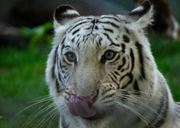 white tiger face stock photo