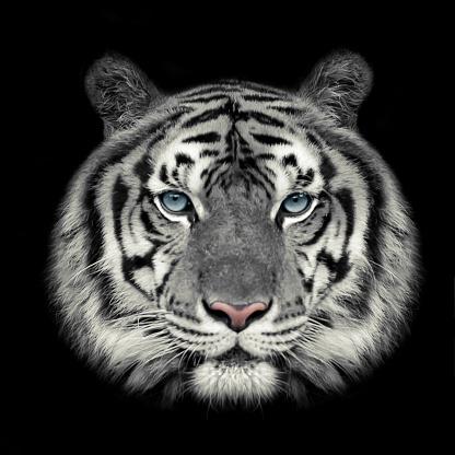 909806032 istock photo White tiger face. 981898226