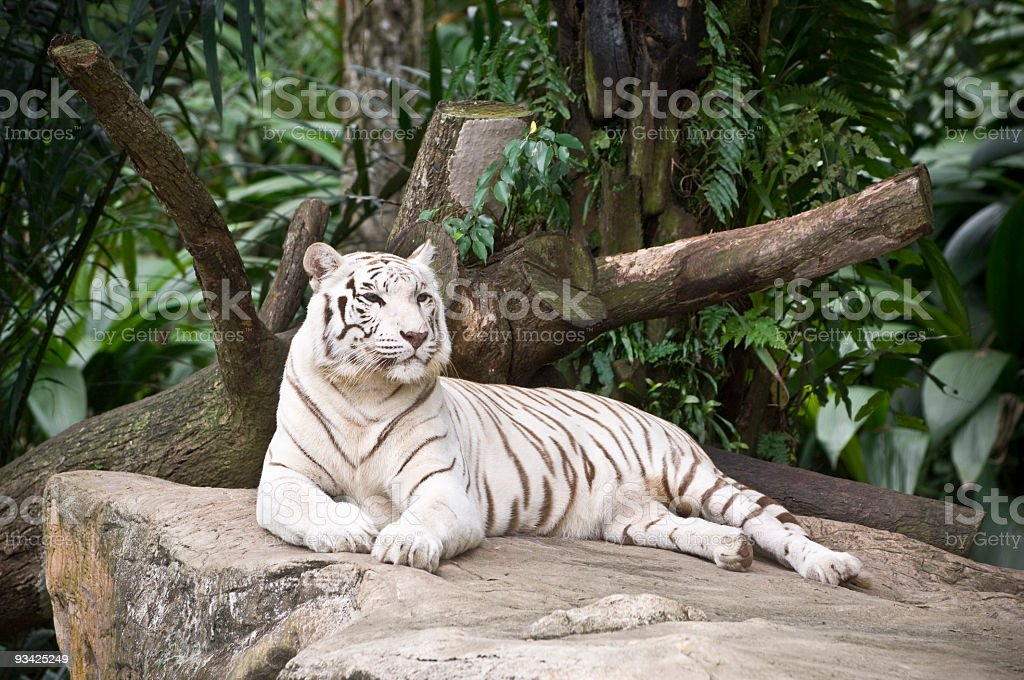 White Tiger II stock photo
