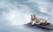 Greeting card background. Winter Christmas and New Year background theme with a white bengal tiger lying down on a rock on top of a mountain on an icy, foggy, cloudy day. Space for text.