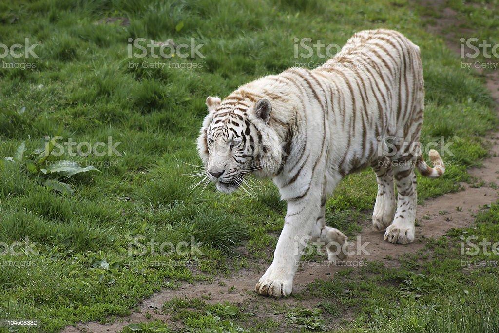 white tiger royalty-free stock photo
