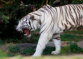 Couple of White tigers make a warm hugging together, very cute moment. Animal selected focus on face.