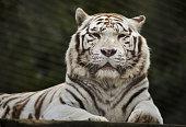 White tiger (Panthera tigris tigris). Wild life animal.