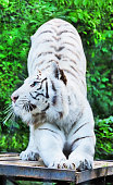 White tiger isolated in black