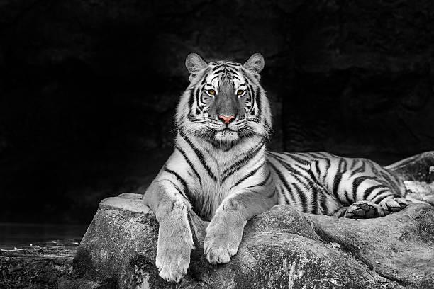 white tiger - schwarzer puma stock-fotos und bilder