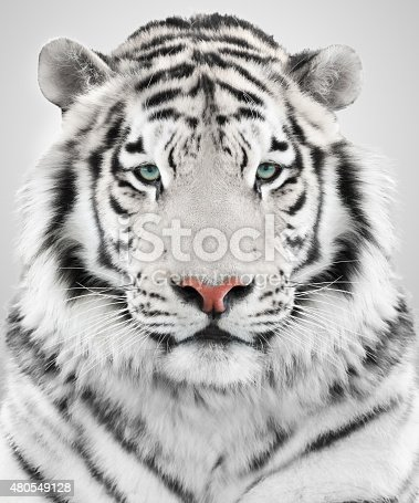 Beautiful white tiger isolated on gray background
