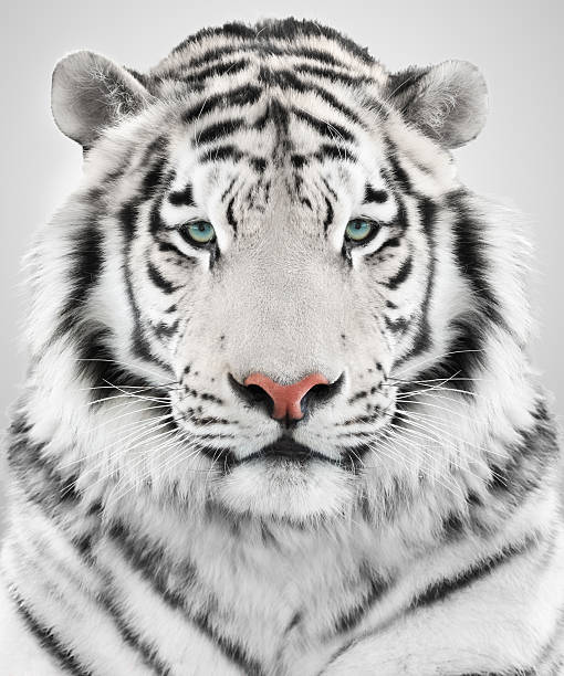 royalty free white tiger pictures images and stock photos istock