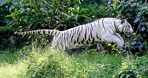 White tiger picture id516657267?b=1&k=6&m=516657267&s=612x612&w=0&h=a8ugzhrsew25nu7k6smq9urzei2dbcfaclresqzbbnw=
