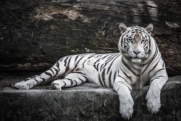 Weißer Tiger Bilder Und Stockfotos Istock