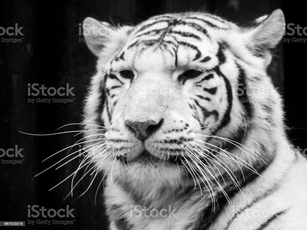White tiger portrait. Black and white image foto stock royalty-free