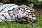 White tiger, Panthera tigris tigris, portrait of a tiger lying on the grass