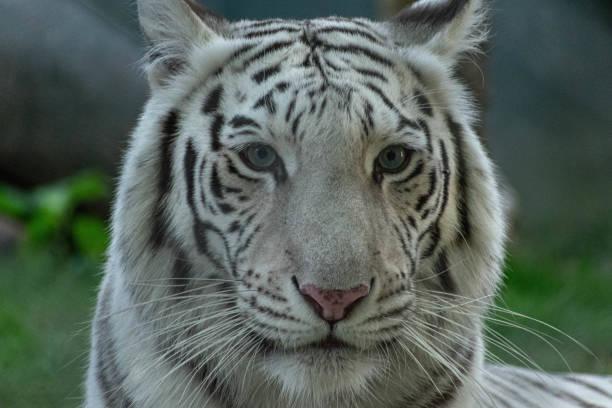 white tiger portrait stock photo