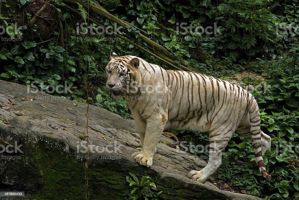 White tiger, Singapore royalty-free stock photo