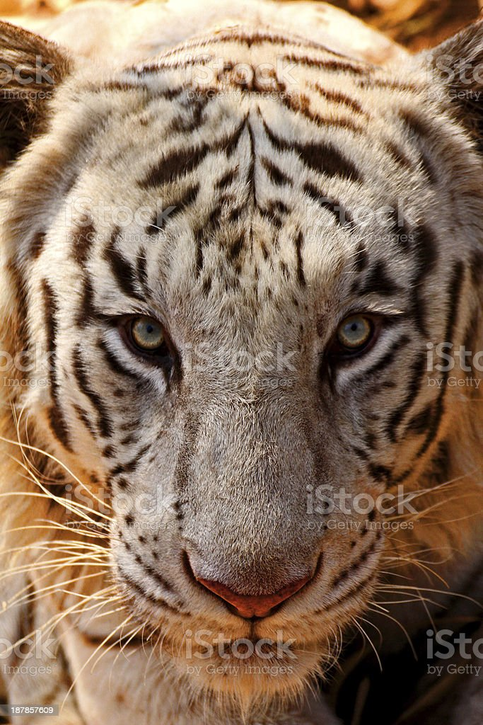 White Tiger Stare stock photo