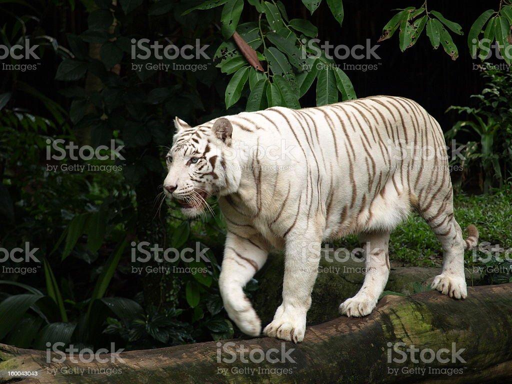 Foto De Tigre Branco Caminhando Em Tronco De Arvore E Mais Fotos