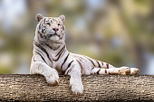 White tiger with black stripes laying down on big tree. Full size adorable portrait. Close view with blurred natural background. Wild animals, big cat