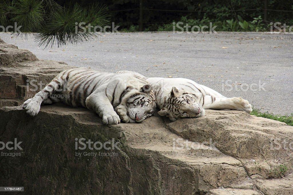 White tigers royalty-free stock photo
