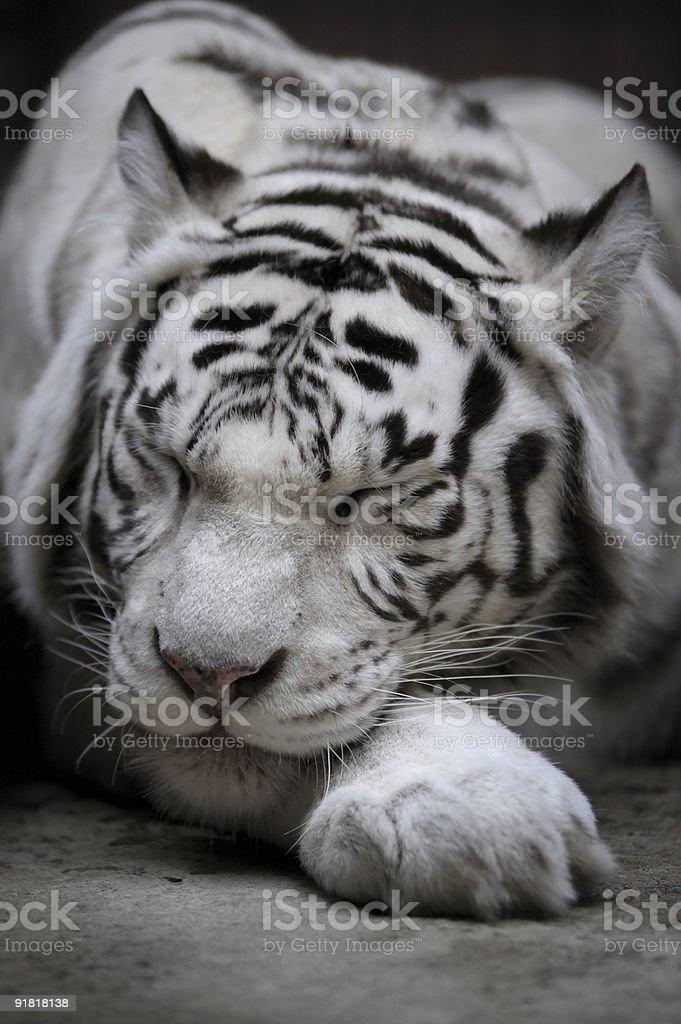 White tigress stock photo