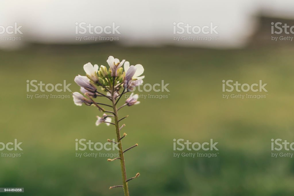 White tiny flowers in bloom isolated on a green field background white tiny flowers in bloom isolated on a green field background royalty free stock photo mightylinksfo