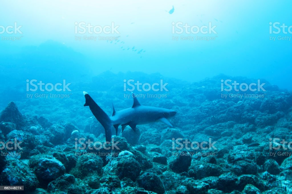 white tip reef shark at bottom of rocky ocean swimming away royalty-free stock photo