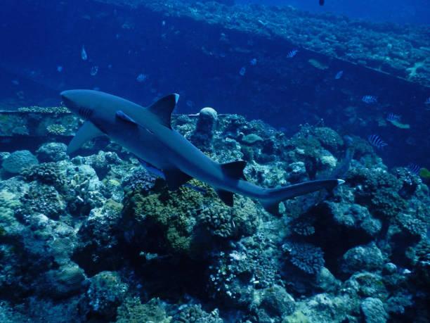 White tip reef shark in Fiji stock photo
