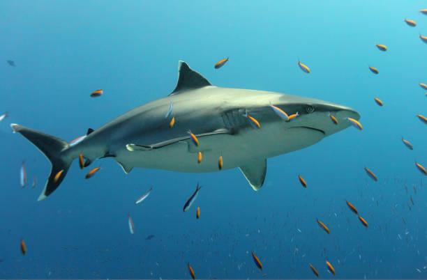White tip shark of Rangiroa Atoll, French Polynesia stock photo