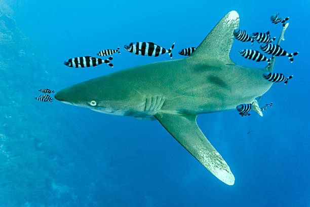 White Tip shark on the blue background stock photo