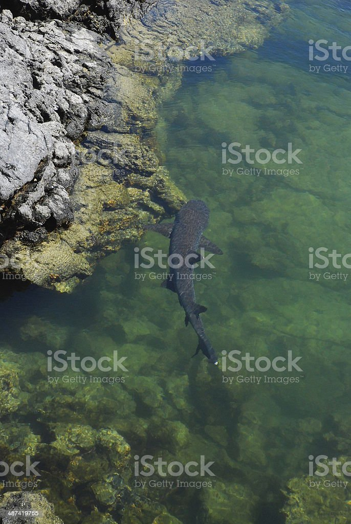 White Tip Shark Swimming in the Galapagos royalty-free stock photo