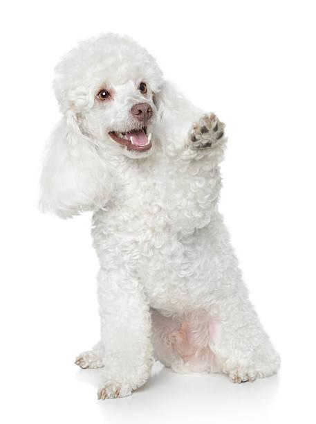 Blanc Caniche Toy donne qu'une patte - Photo