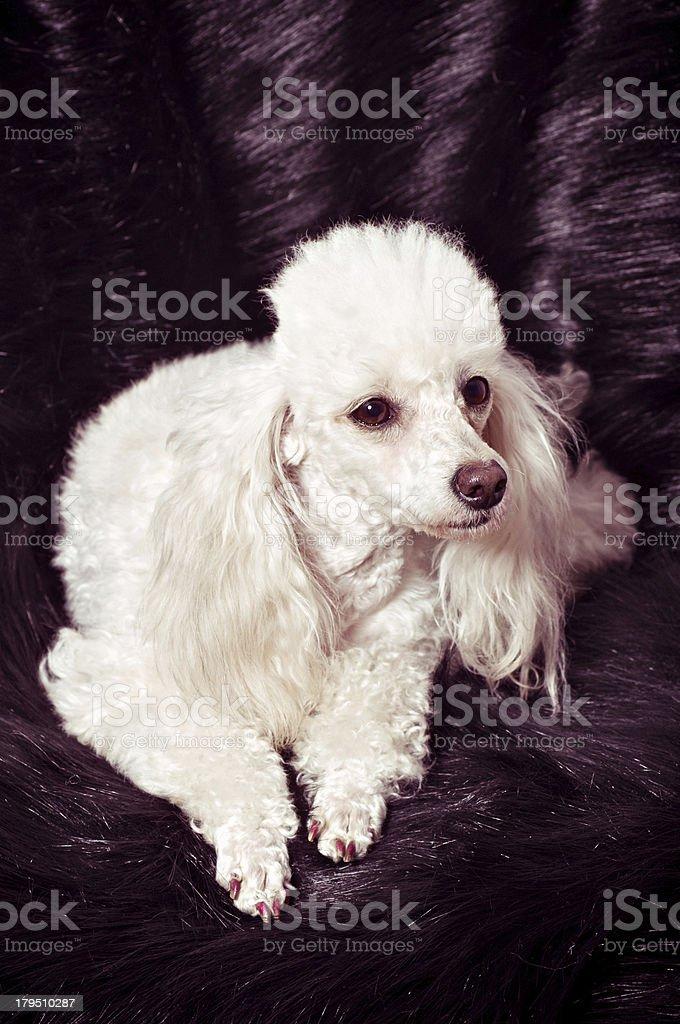 White Toy Poodle royalty-free stock photo