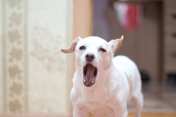 White terrier anglais barking - Photo