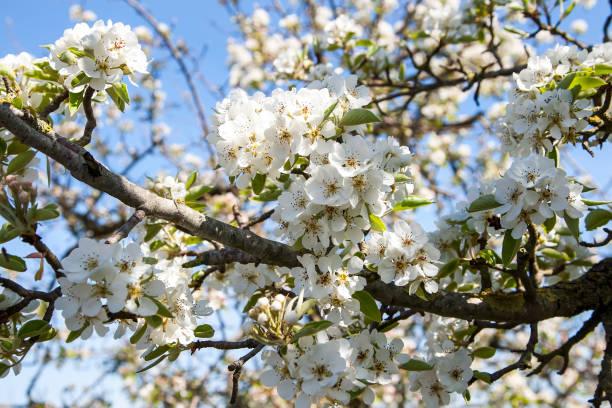Weiße Baumblüte im Frühjahr – Foto