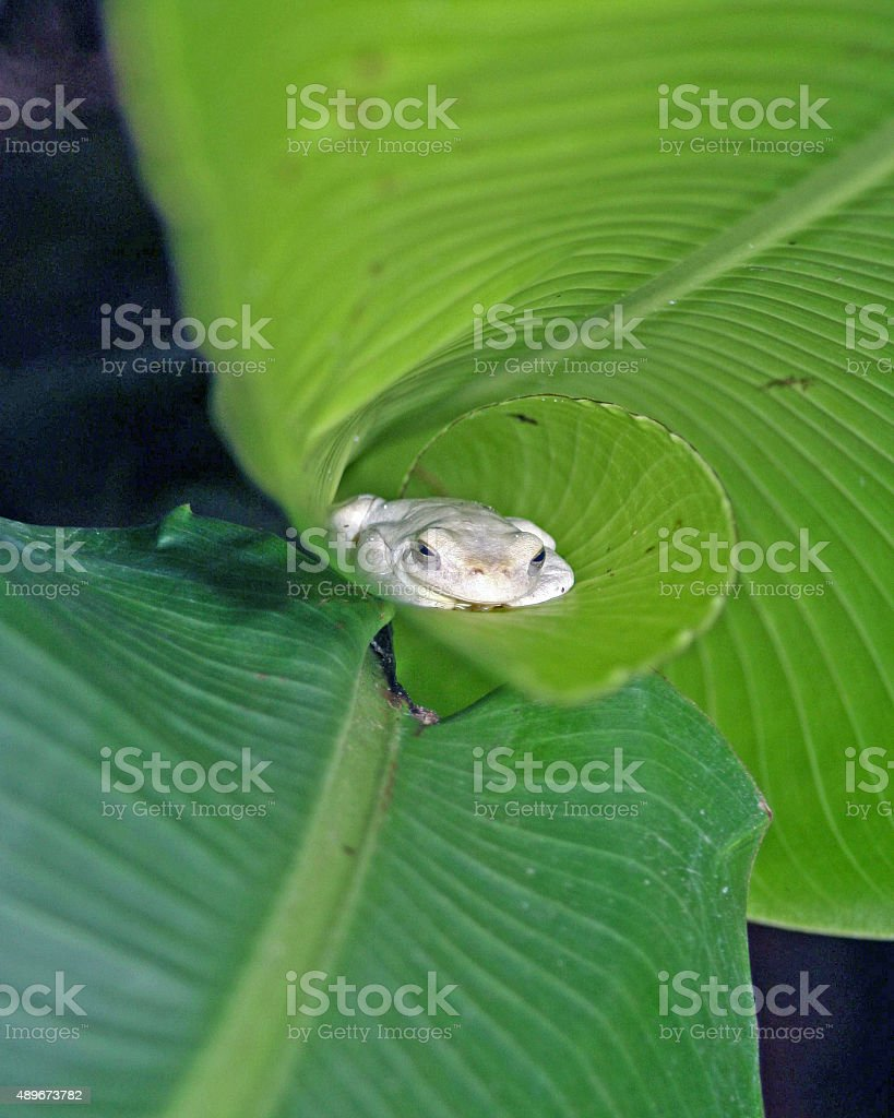 White Tree Frog in Rolled Elephant Ear Leaf stock photo