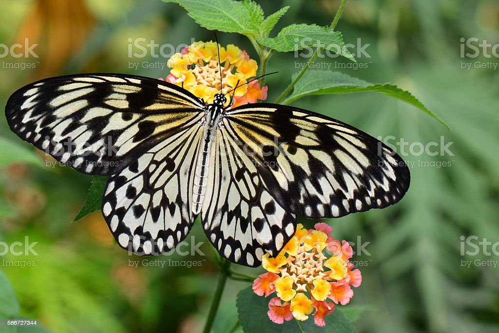 White tree nymph butterfly stock photo