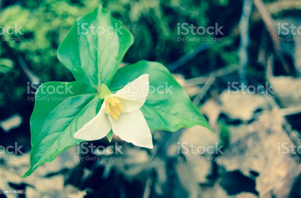 White trillium flower in bloom royalty-free stock photo