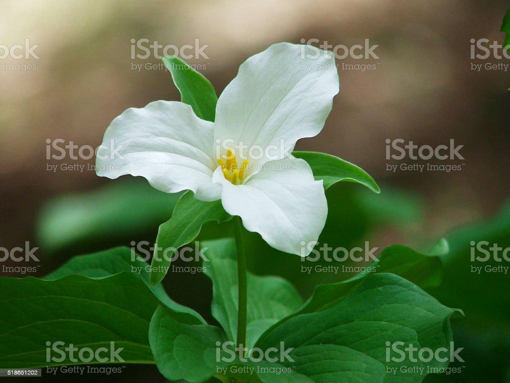 White Trillium grandiflorum Flower stock photo