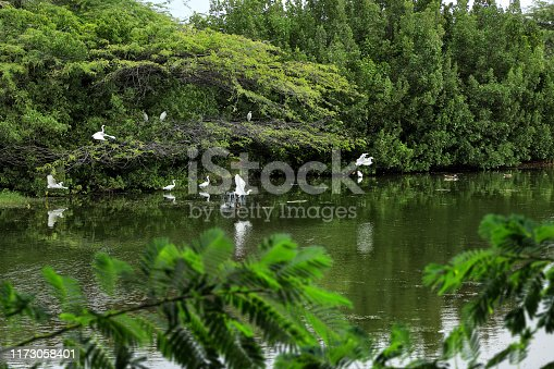 group of long neck white tropical water birds by lakeside in Aruba