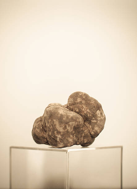 weißer trüffel - pilze bestimmen stock-fotos und bilder