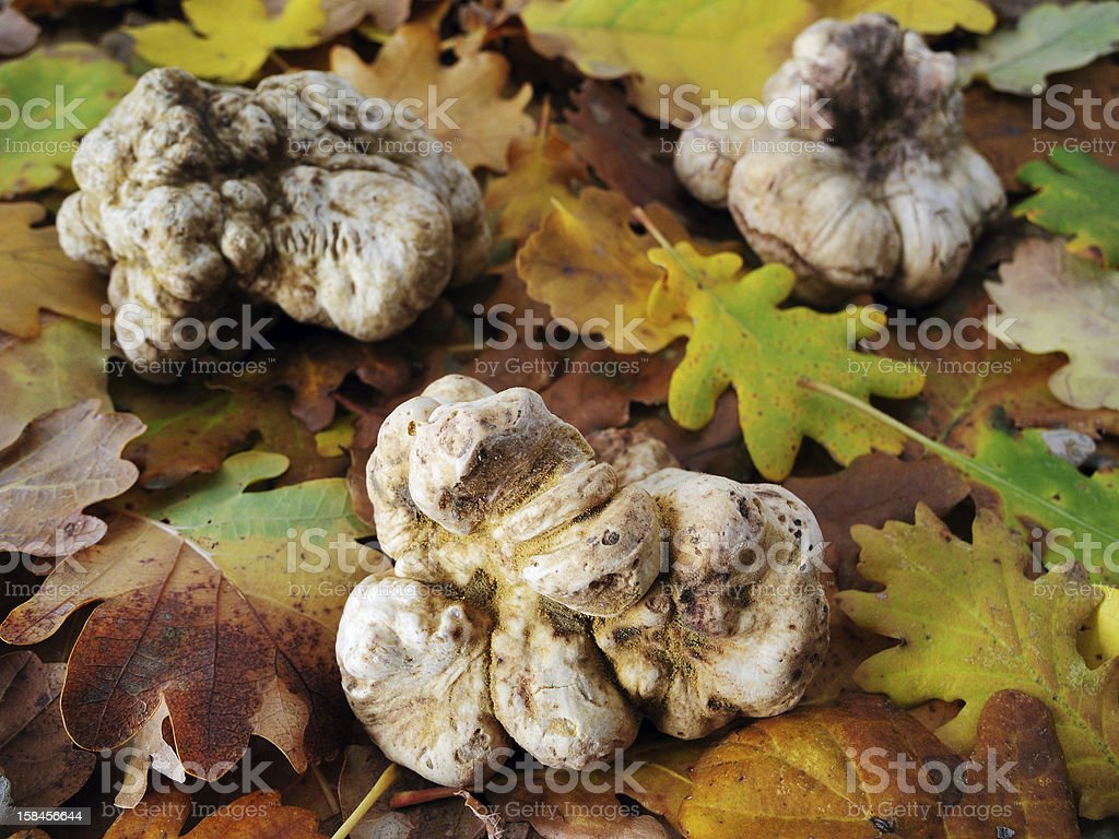 white truffles (tuber magnatum) stock photo