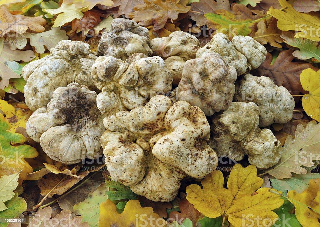white truffles stock photo