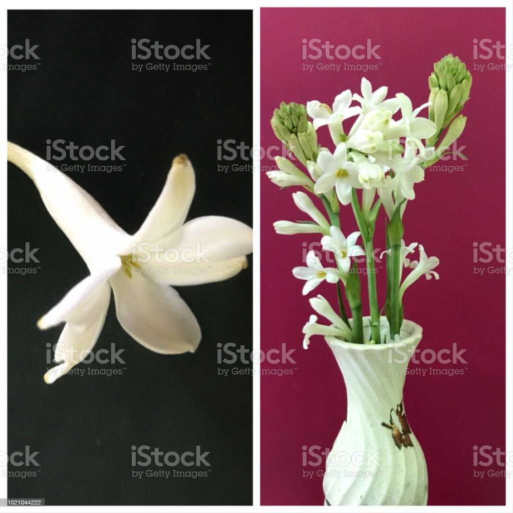 White Tuberose Flowers And Buds Stock Photo More Pictures Of